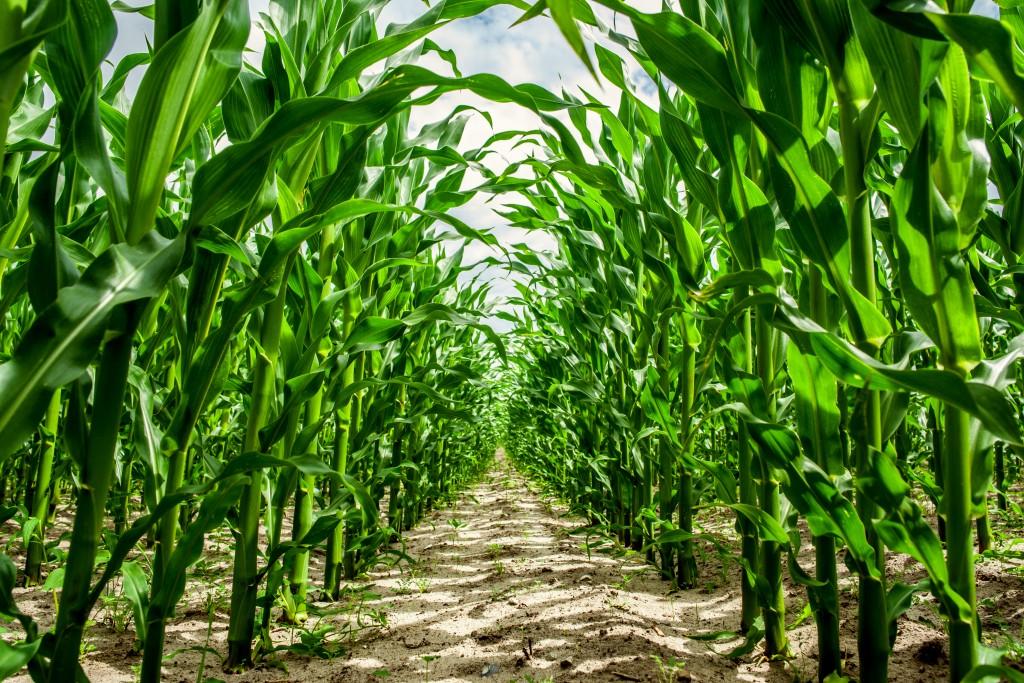 Corn crops in a row