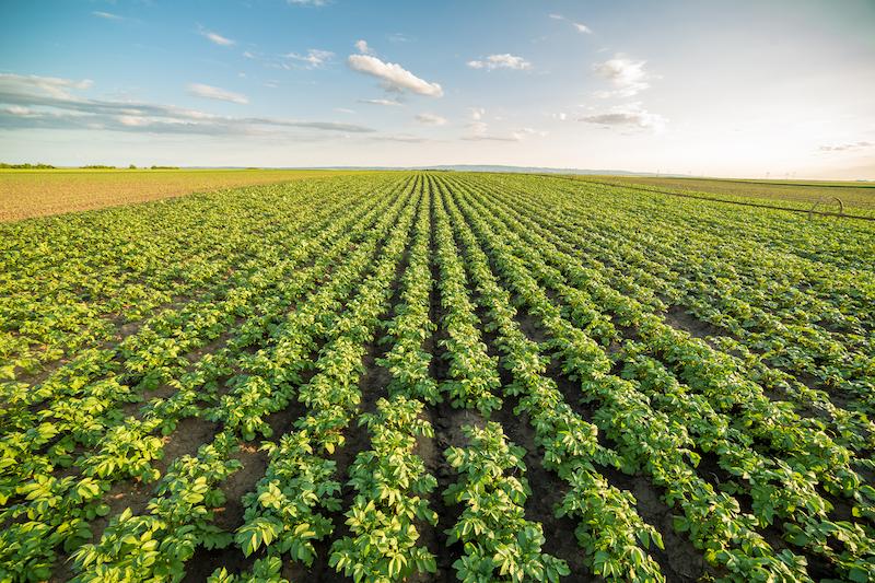 Potato crops in a field